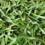 How to care for St. Augustine grass
