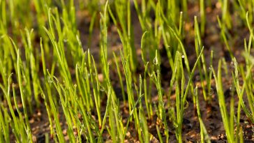 Does pre-emergent kill grass seed?