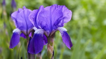 How to keep weeds out of iris beds