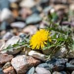 How to remove dead weeds from rocks