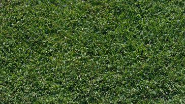 When to fertilize St. Augustine grass