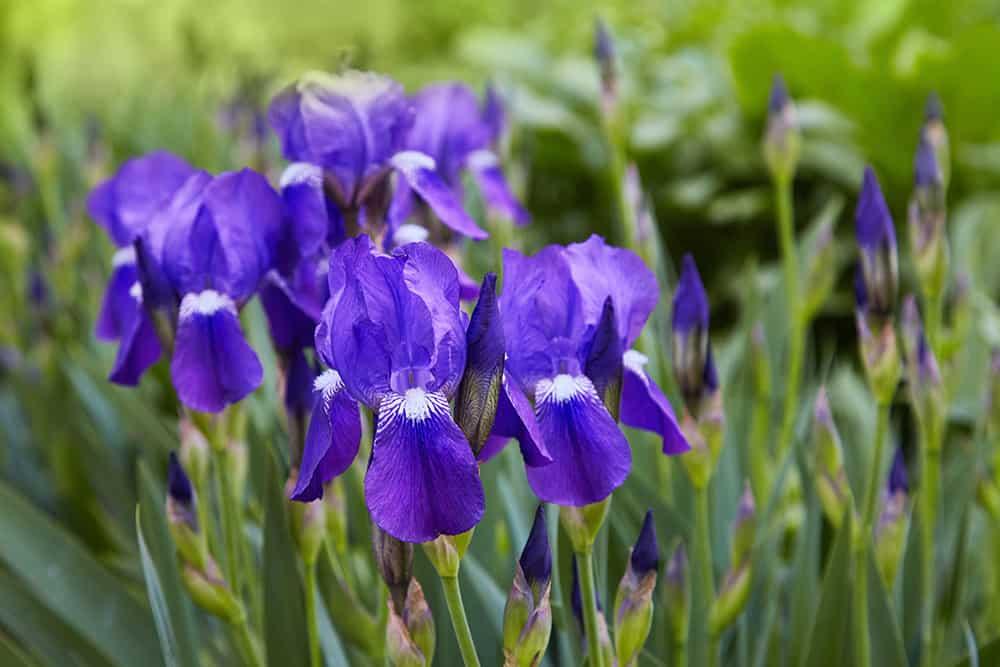 Will Roundup kill irises?