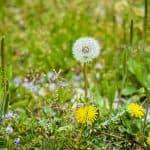 Arsenal herbicide vs Roundup