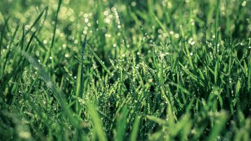 Can you put pre-emergent on wet grass?