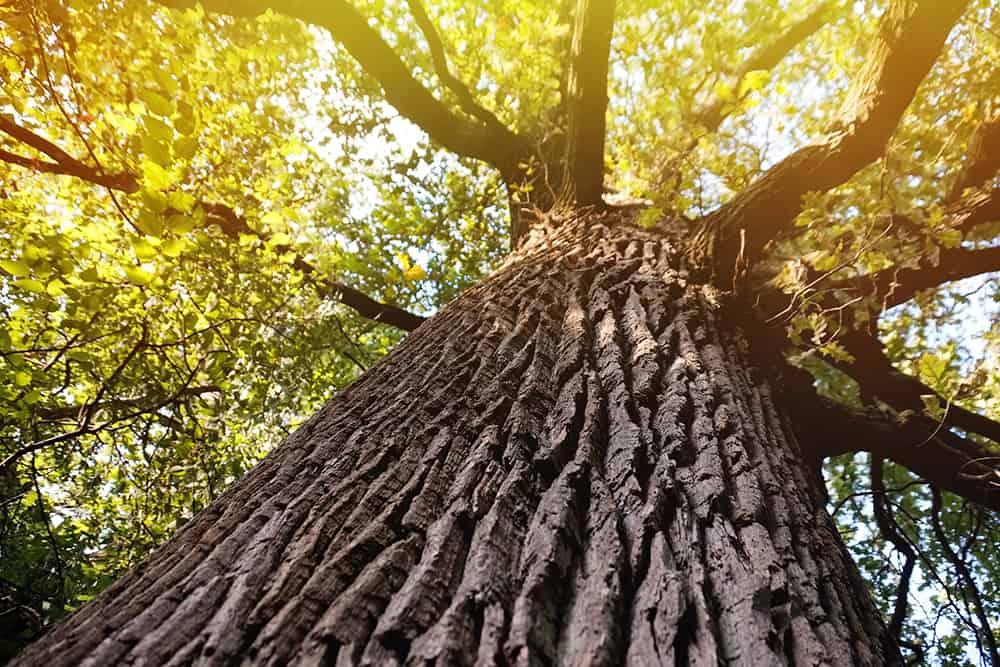 Do oak trees have sap?