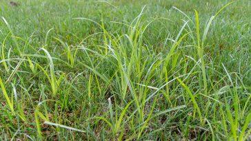 Does Quinclorac kill nutsedge?