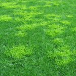 How to get rid of poa annua