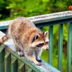 How to keep raccoons from climbing deck posts
