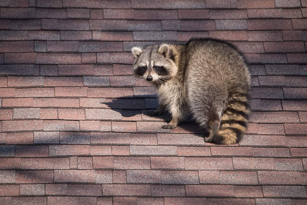 How to keep raccoons from climbing downspouts