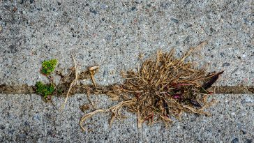 how to remove dead grass after roundup