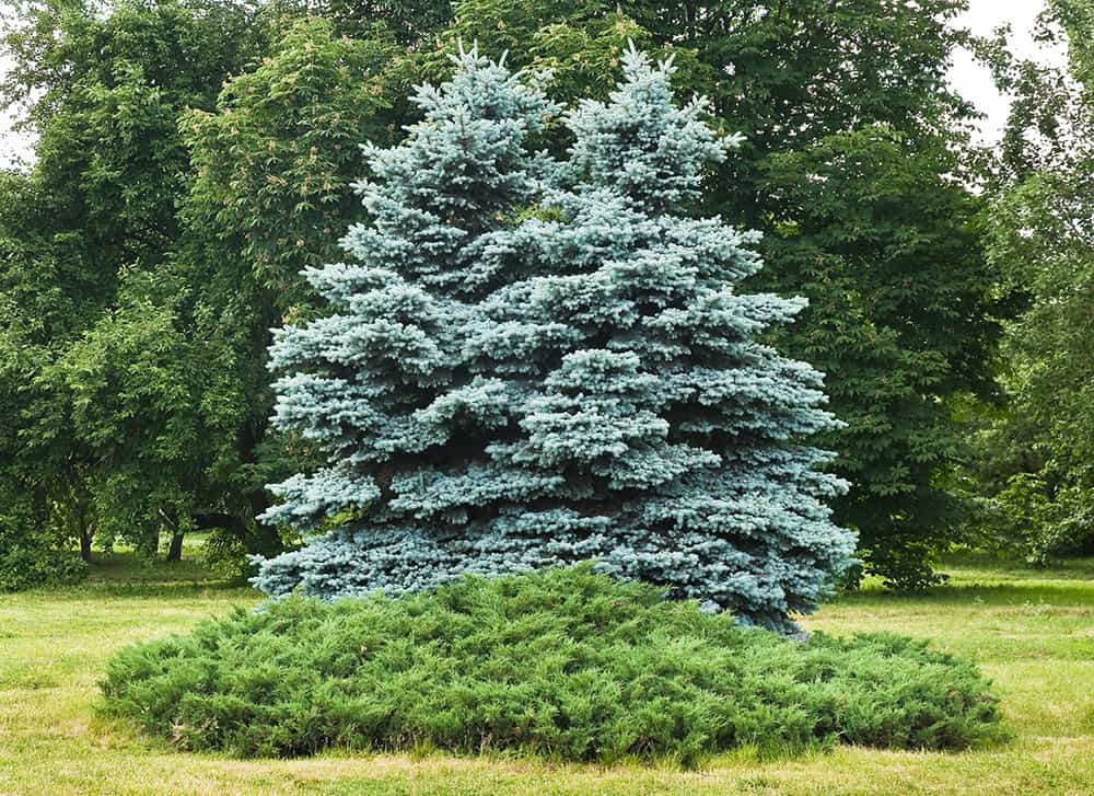 How to trim a pine tree that is too tall