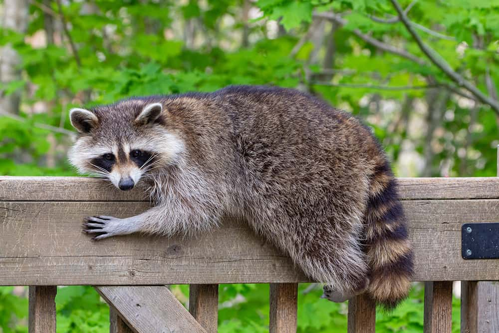 Raccoon climbing deck posts