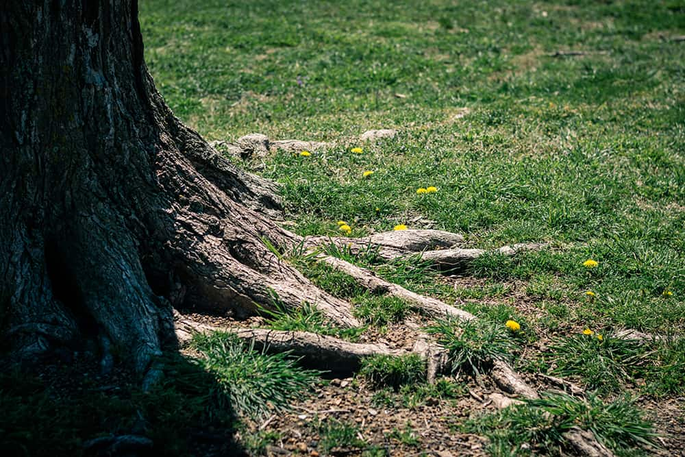 How to remove weeds growing from tree roots