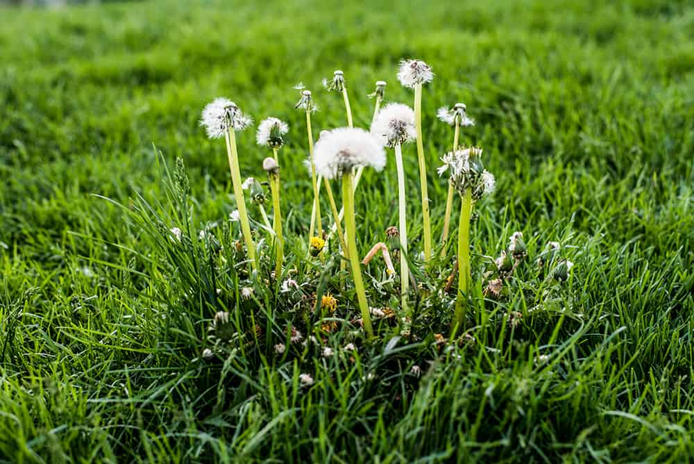 What kills grass and weeds permanently?