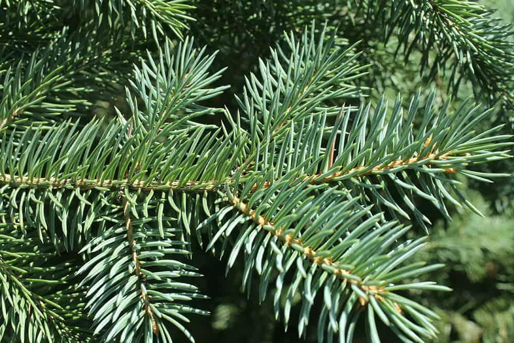 When do pine needles stop falling?