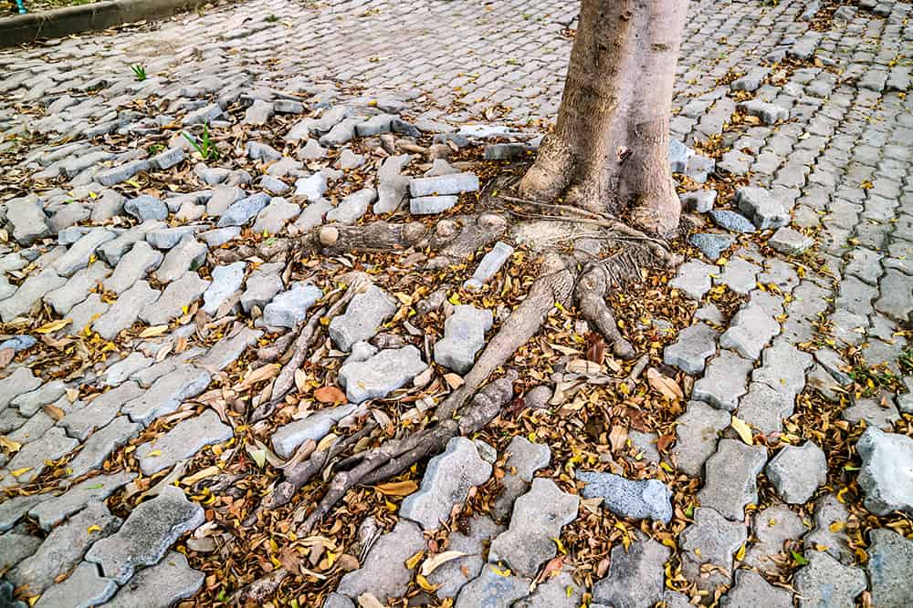 Will cut tree roots grow back?