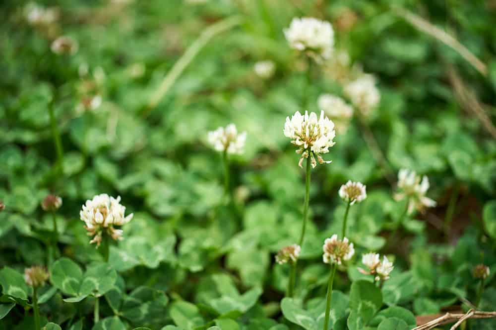 Get rid of clover with chemicals