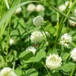 Use these tips to get rid of clover in your lawn