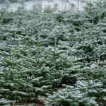 How long does it take to grow a Christmas tree