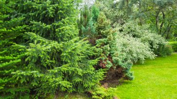 Will pine tree branches grow back?