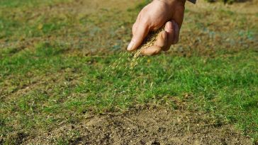 Will overseeding choke out weeds?