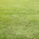 Does buffalo grass have runners?