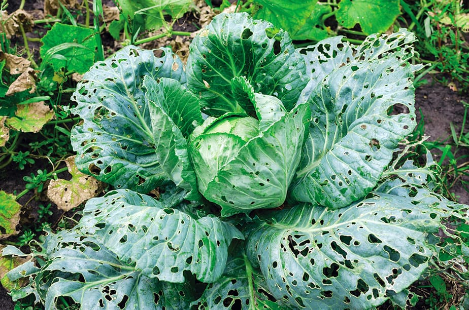 How to keep bugs from eating cabbage plants