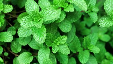 Does mint kill other plants?