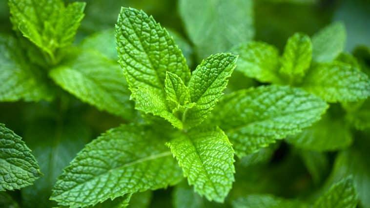 Does mint need full sun?